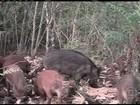 Ibama autoriza o abate de javalis e de javaporcos em todo o país