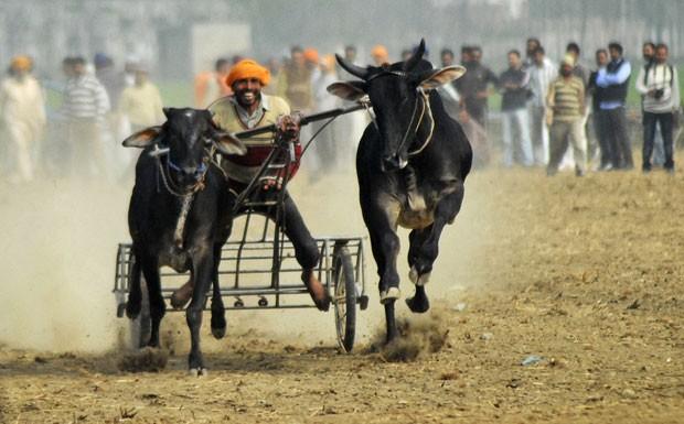 Corrida de bois é uma das atrações do evento (Foto: AP)