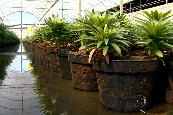 Produtores de flores no interior de São Paulo armazenam água da chuva em tanques para reúso na irrigação
