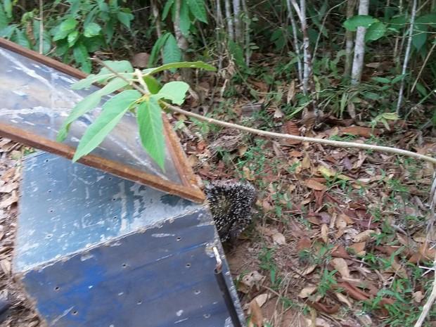 Animal foi resgatado e solto em uma área de mata na zona rural (Foto: Polícia Ambiental/Divulgação)