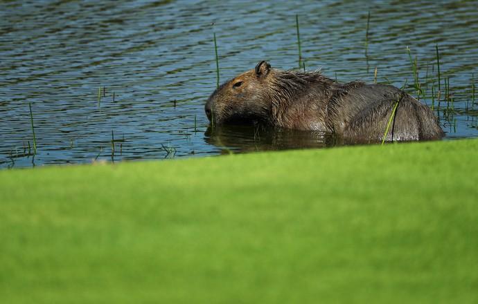 Capivara golfe (Foto: Getty Images)