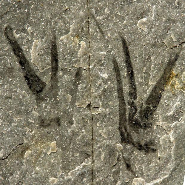 Presas de fóssil lembram personagem Edward - Mãos de tesoura, interpretado pelo ator Johnny Depp (Foto: Divulgação/Imperial College London)