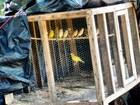 Mais de 30 canários são resgatados em sítio na região sul do Tocantins