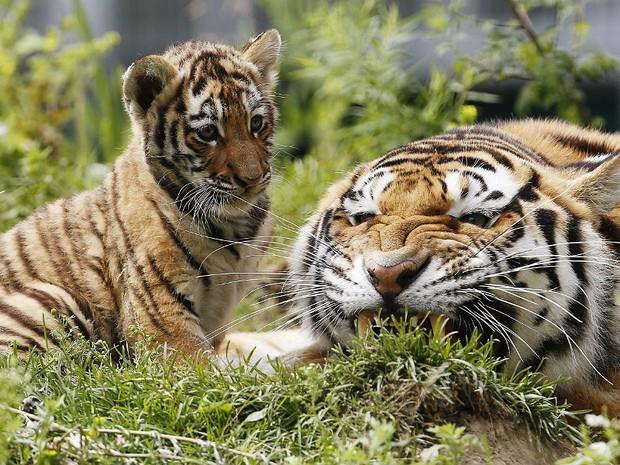 Tigres 2 (Foto: Mathieu Belanger/Reuters)