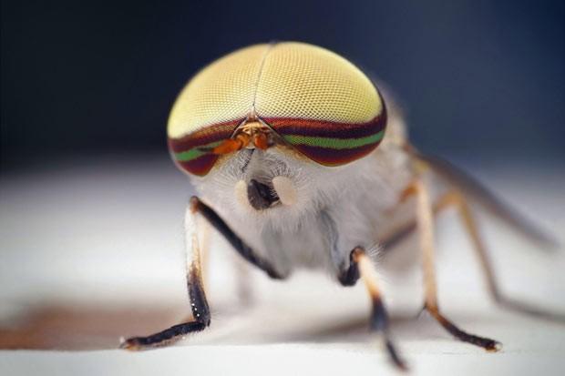 Conheça os insetos vampiros. Graças à microfotografia, é possível ver os detalhes destes bichos que se alimentam de sangue. Esta mosca listrada (Tabanus lineola) é encontrada em partes dos Estados Unidos e no Golfo do México. Nesta espécie, a fêmea é quem pica. Os machos são inofensivos (Foto: SPL/Barcroft Media /Sinclair Stammers)