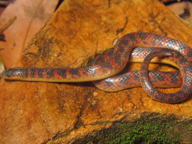 Nova espécie de serpente é encontrada em Minas Gerais. (Foto: Mauro Teixeira Jr)