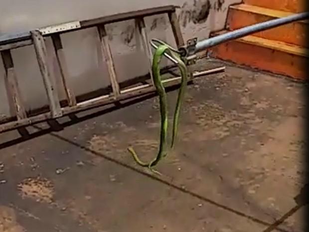 Cobra foi capturada em pátio de motel na capital (Foto: Divulgação/ PMA)
