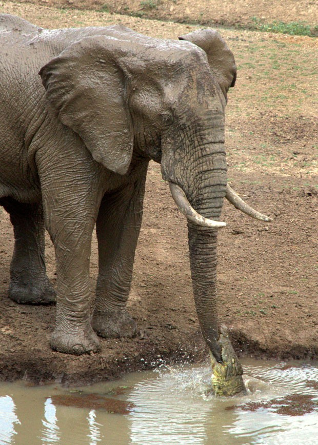 Ian Salisbury flagrou momento em que crocodilo abocanhou tromba de elefante (Foto: Caters News Agency)