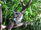 Turistas abraçam coalas para tirar fotos em parques na Austrália