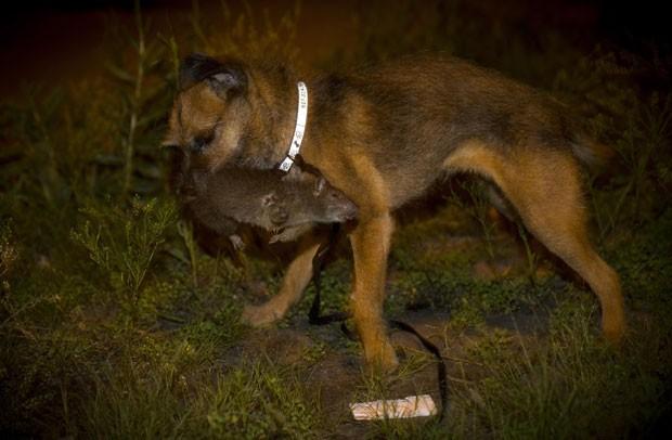 Border terrier Tanner é fotografada após capturar rato enorme em Nova York (Foto: Mike Segar/Reuters)