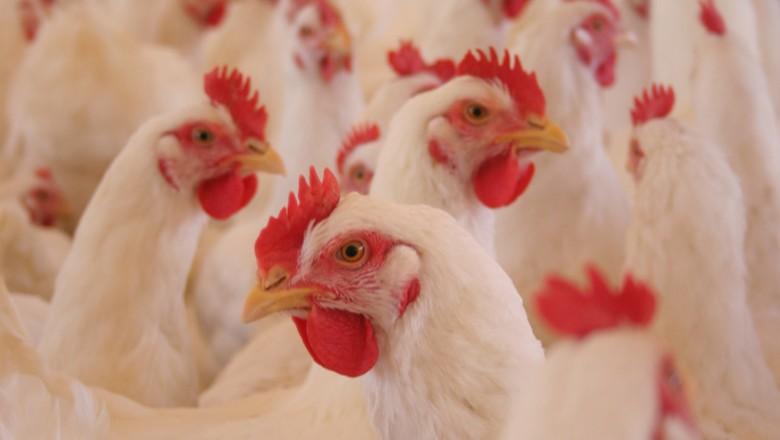 aves-frangos-corte-carne-galinha (Foto: Ricardo Padue/Ed. Globo)