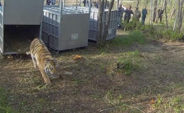 Tigre solto por Putin é suspeito de atacar caprinos na China (Foto: Reprodução/YouTube/IFAW)