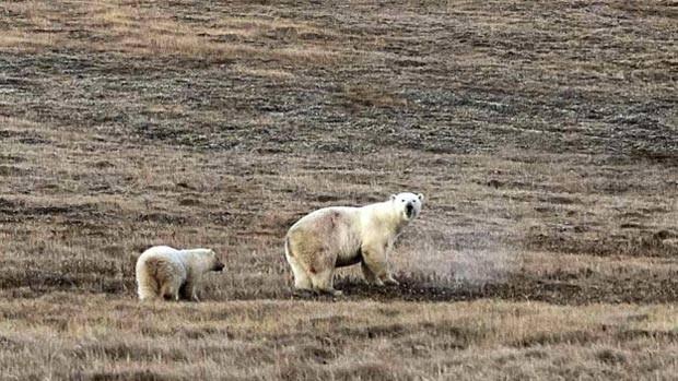 Livre da lata, o filhote acompanha a mãe de volta para o seu habitat na remota ilha de Wrangel, um santuário da biodiversidade reconhecido pela Unesco. Os ambientalistas afirmam que ele vai se recuperar totalmente do acidente (Foto: Dvorjchenko Vitaliy/The Siberian Times)