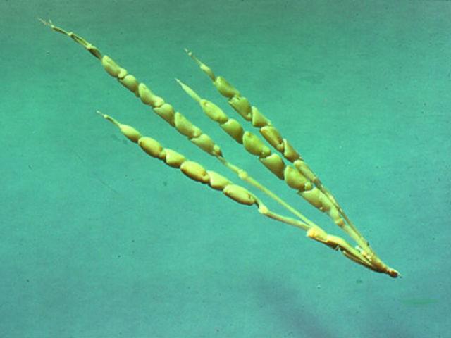 Milho (Foto: Reprodução/ Genetic Literacy Project)