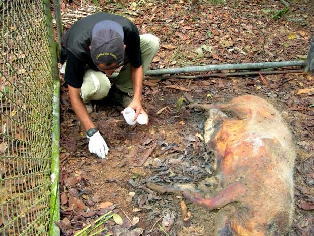 Durante pesquisas, biólogos fazem coletas em cadáveres de porcos, em áreas mais comuns às desovas (Foto: Arquivo Pessoal/ Dr. José Albertino Rafael (Inpa))
