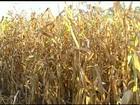 Colheita do milho safrinha começa com boa expectativa em Jataí, GO