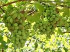 Produtores apostam em novas variedades de uva