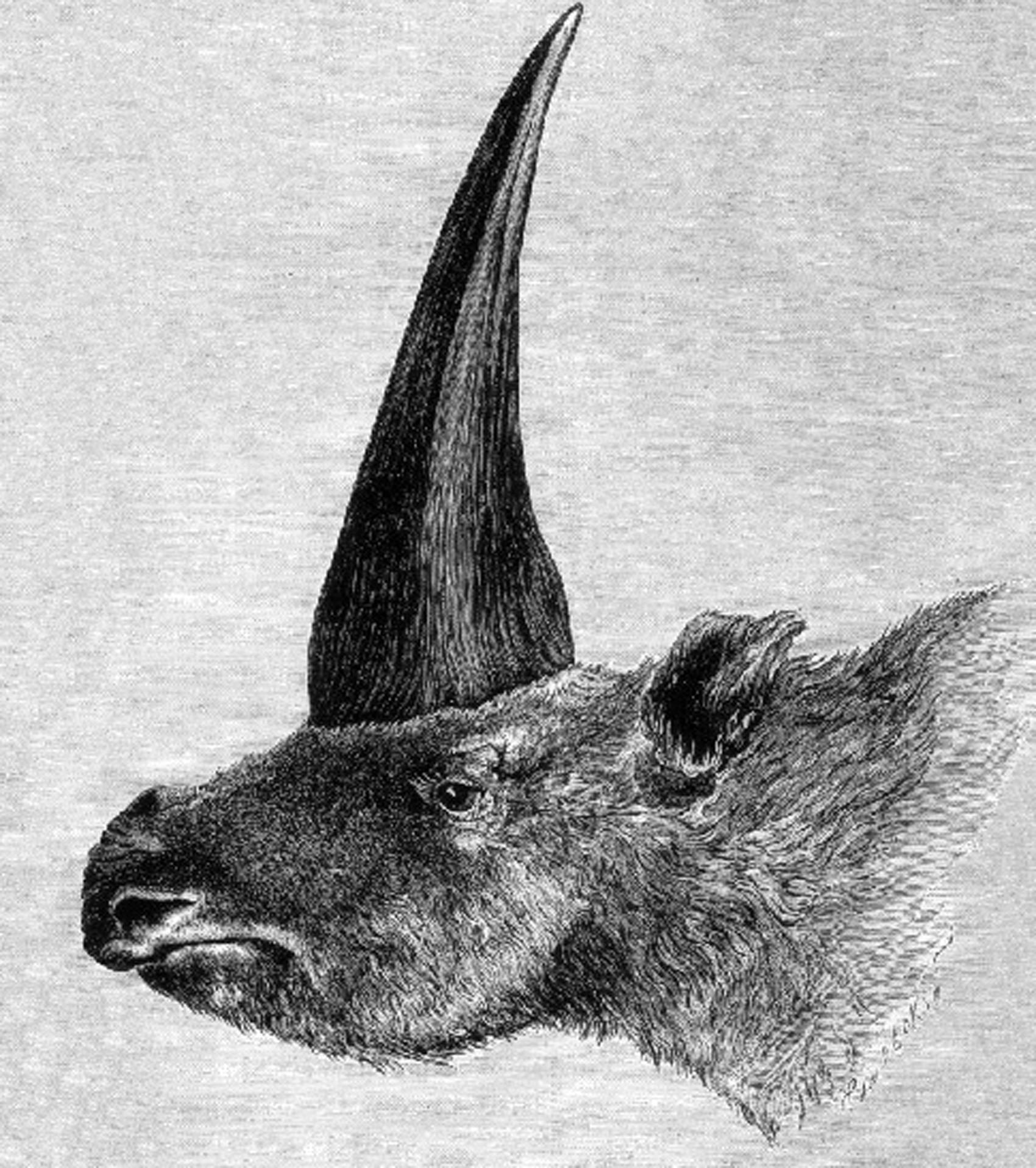 Ilustração de 1878 representa o Elasmotherium sibiricum, apelidado de 'unicórnio siberiano': animal conviveu com humano há 30 mil anos, de acordo com estudo  (Foto: Rashevsky, sob a supervisão de A.F. Brant/Domínio público)