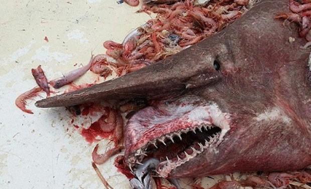 Pescador capturou rato turbarão-duende de 5,4 m por acidente na região de Flórida Keys, nos EUA (Foto: Divulgação/Carl Moore/NOAA)