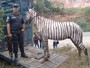 PM apreende cavalo pintado de zebra na Baixada Fluminense