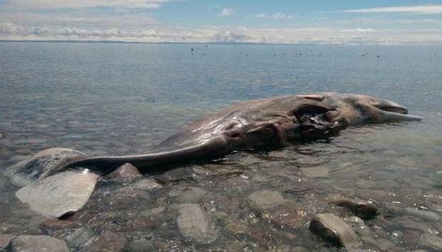 Cachalote de 12 metros apareceu em praia de Cape St. George (Foto: Reprodução/eBay)