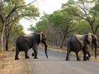 Elefantes morrem envenenados no Zimbábue