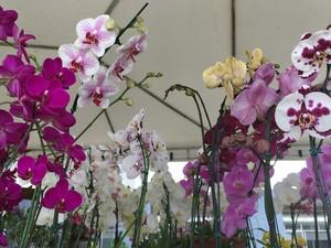 Orquídeas de várias espécies estão disponíveis em festival (Foto: Thainá Paz/ G1)