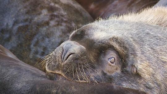 Leões-marinhos saem da água e atraem curiosos na Praia do Cassino
