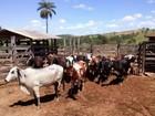 Polícia Militar encontra gado roubado em Uberlândia e um homem é preso