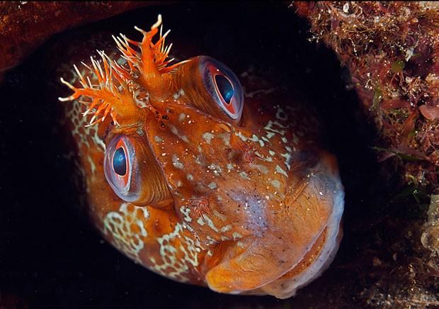 """O ganhador na categoria retratos de animais foi Mark N Thomas, que fotografou uma espécie de peixe em Gwynedd, no norte do País de Gales. Thomas, que deu o nome de 'Tommy' à sua imagem, disse que """"esse peixe estava sempre no mesmo lugar em todos os meus mergulhos"""".  (Foto: Mark N Thomas/BBC)"""