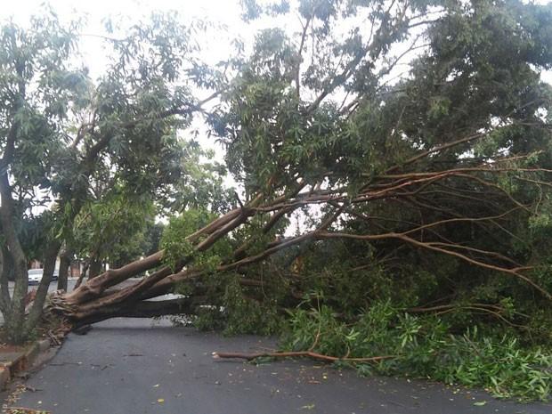 Árvore interditou uma das pistas da Avenida Orlando Henrique de Melo (Foto: Maria Iolanda dos Santos/Cedida)