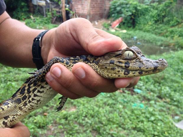 Filhote de jacaré tem 80 cm e foi achado perto de córrego em Jaboatão (Foto: Kety Marinho / TV Globo)
