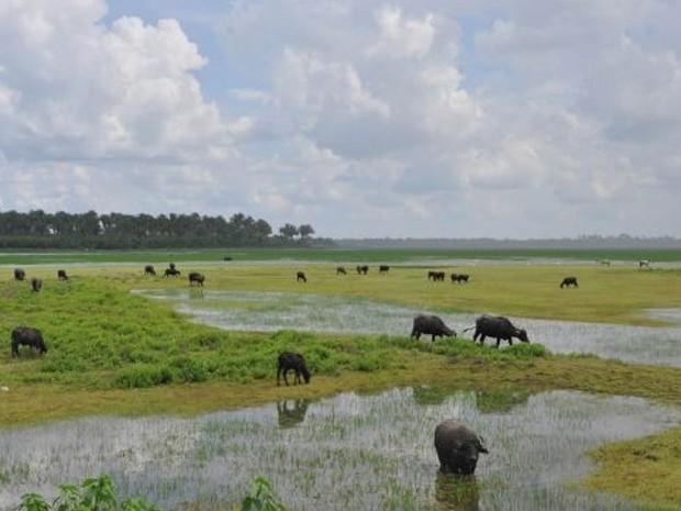 Búfalos não poderão mais ocupar áreas alagadas da Baixada Maranhense (Foto: Divulgação/ CGJ)
