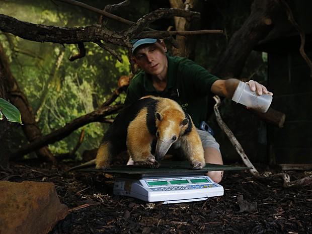 Cuidador Marcel McKinley usa minhocas para atrair o tamanduá Tammy para o centro da balança (Foto: Suzanne Plunkett/Reuters)