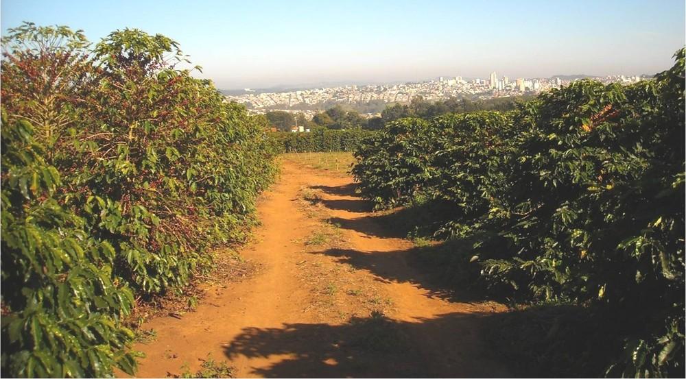 Lote de cafeeiros susceptíveis à ferrugem, à esquerda e resistentes à direita, na fazenda experimental da Pró-café em Varginha (Foto: Arquivo Pessoal / José Braz Matiello)