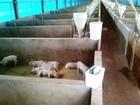 PMA autua suinocultor por criação ilegal de 6 mil porcos em MS