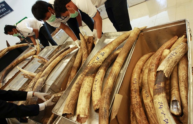 Marfim apreendido nesta semana em Aeroporto de Bangcoc, na Tailândia (Foto: Sukree Sukplang/Reuters)