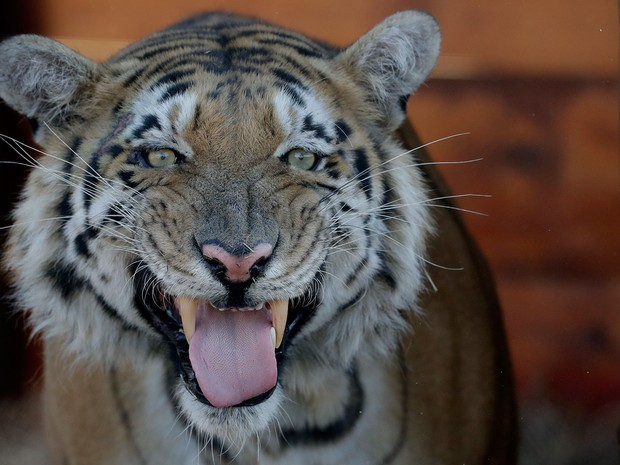 O tigre Laziz em seu novo recinto no Lionsrock Big Cat Sanctuary, em Bethlehem, na África do Sul, na quinta (25) (Foto: AP Photo/Themba Hadebe)