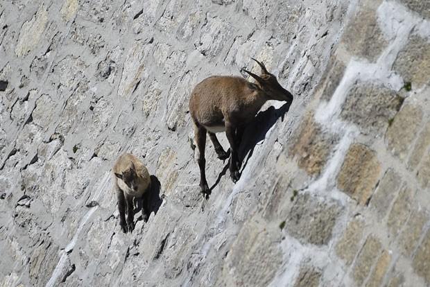 Cabra e seu filhote foram fotografados escalando paredão de quase 50 metros perto de Antrona Piana (Foto: Olivier Morin/AFP)