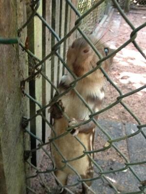 Filhote de paca no Centro de Recuperação de Animais Silvestres (CRAS). (Foto: Larissa Matarésio/G1)