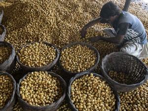 Homem coloca tâmaras frescas em cestas para secar em uma fazenda durante a colheita no Paquistão nesta segunda-feira (30) (Foto: Reuters)