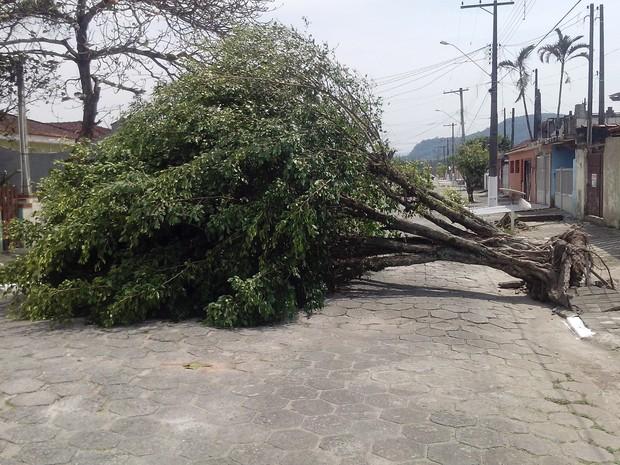 Árvore caiu e bloqueoou rua em Mongaguá, SP (Foto: Johnny Ervolino/Arquivo Pessoal)