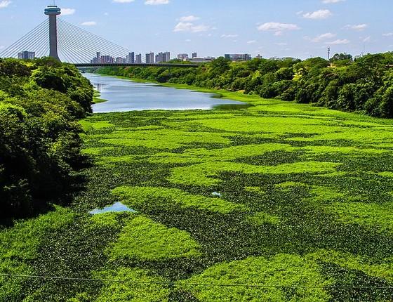 Rio Poti, em Teresina, com aguapés. As plantas parecem bonitas, mas estão ligadas à poluição da água (Foto: João Alberto Viana Paz Netto, Wikimedia Commons)