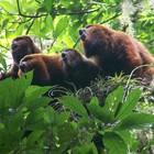 Projeto Bugio preserva e estuda macaco (Gustavo Henrique Pereira/Divulgação)