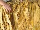 Produtores fazem a colheita do fumo e comemoram a produtividade no RS