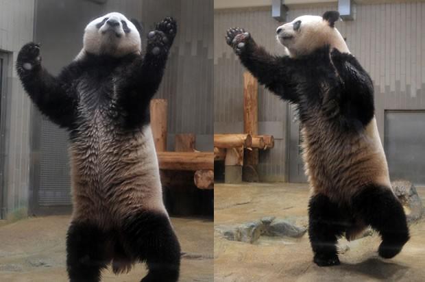 O panda gigante macho RiRi, de 6 anos, parece dançar ao tentar pegar uma maçã (não vista nas fotos) no zoológico Ueno, em Tóquio, Japão, neste sábado (Foto: Itsuo Inouye/AP)
