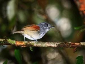 Choquinha-de-asa-ferrugem, pássaro que, segundo os autores do estudo, deveria entrar para a lista de espécies ameaçadas (Foto: Fábio Olmos/NJIT)