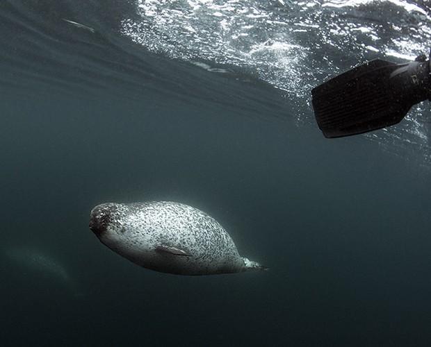 Baleia narval fêmea se aproxima de fotógrafo enquanto ele nada rumo ao grupo da expedição (Foto: Divulgação/Daniel Botelho)