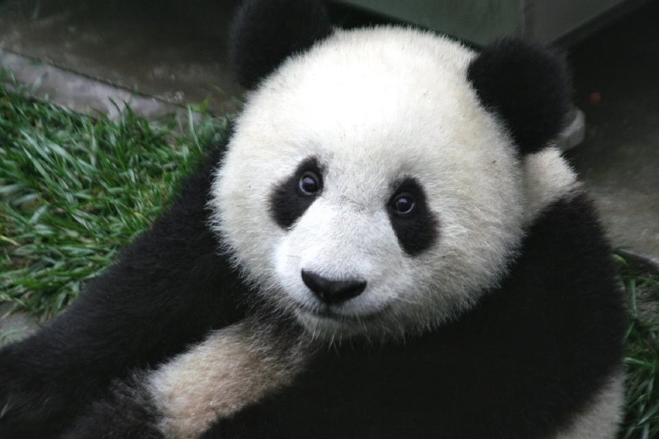 China planeja abrigos refrigerados para pandas (Foto: Pixabay/skeeze)