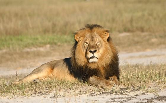 O leão Cecil, do Zimbábue (Foto: AP)